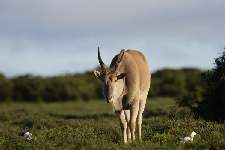 Animal standing on field against sky