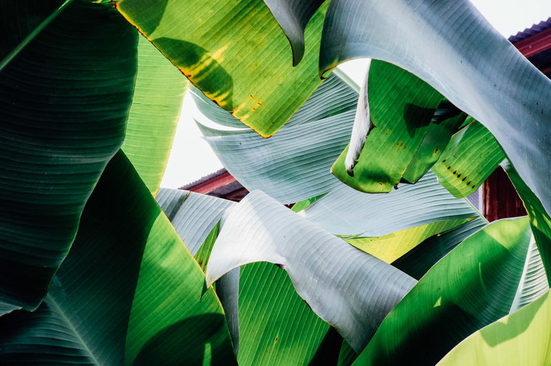 Full frame shot of banana leaves