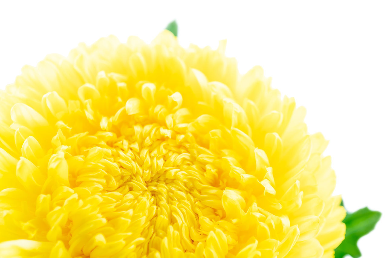 CLOSE-UP OF YELLOW AND ORANGE FLOWER AGAINST WHITE BACKGROUND