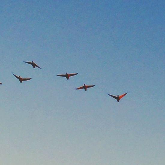 Duck squadron Flying Bird Ducks Flying Ducks In The Move Chuylui Photography