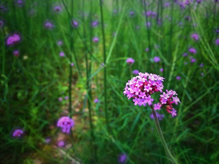 Close-up of purple flowers on field