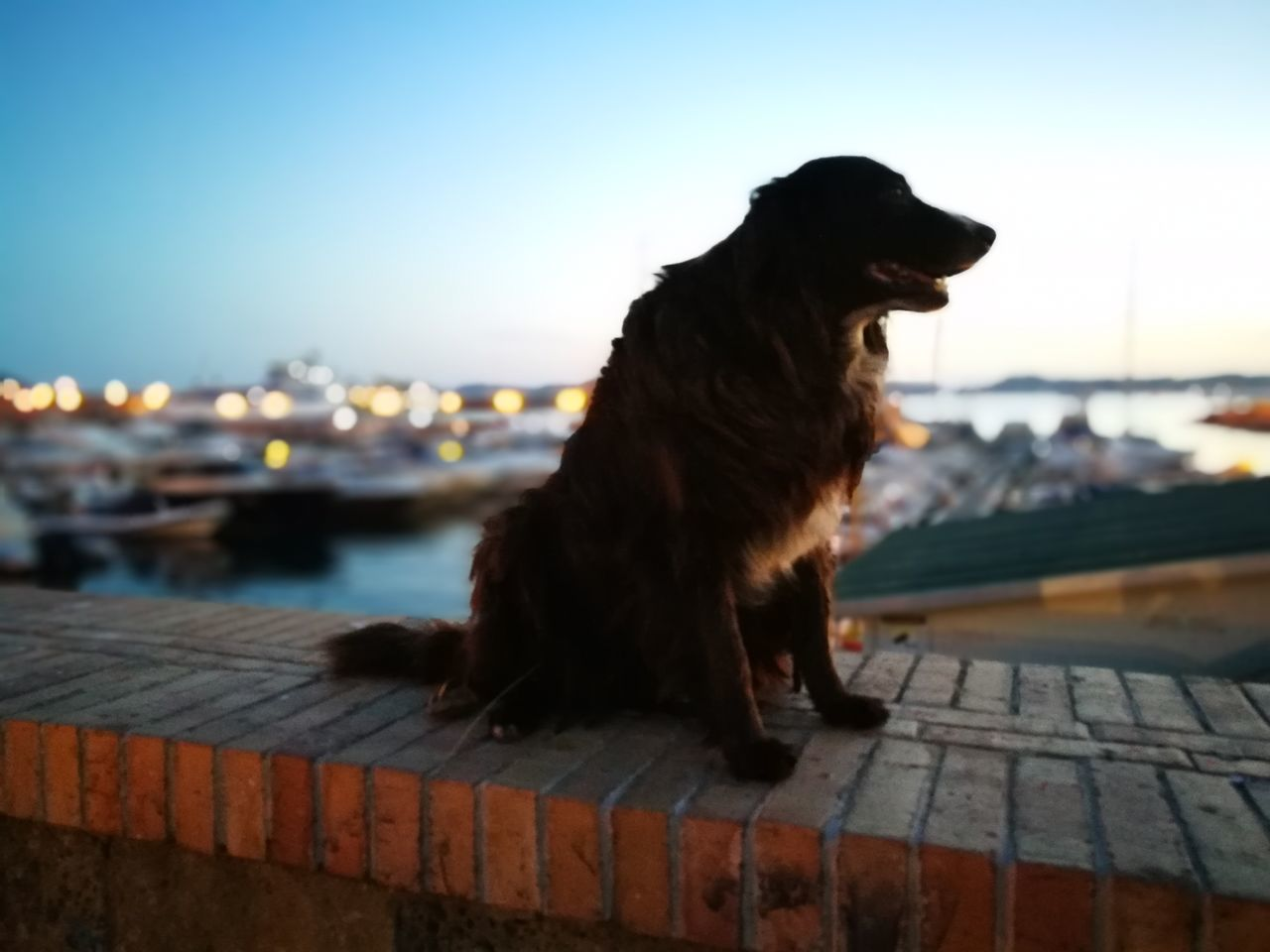 one animal, pets, domestic animals, animal themes, sitting, sunset, dog, outdoors, focus on foreground, sky, mammal, no people, water, harbor, roof, clear sky, building exterior, nature, day, city, close-up