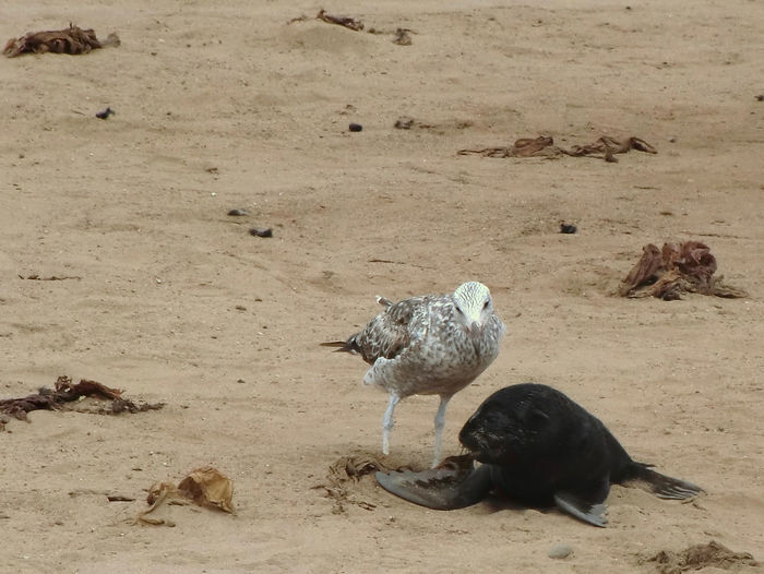 Namibia Animal Themes Animals In The Wild Bird Cape Cross Day Nature No People Outdoors Sand Seagull Seal W-namibia Young Animal Young Seal