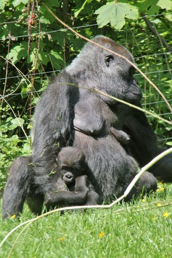 Protection Animal Themes Animals In The Wild Branch Day Focus On Foreground Gorillas Green Color Looking Mammal Mother And Young Nature Outdoors Protective Relaxing Time Sitting Outside Sunny Day Togethernessishappiness Wildlife Zoo Zoology