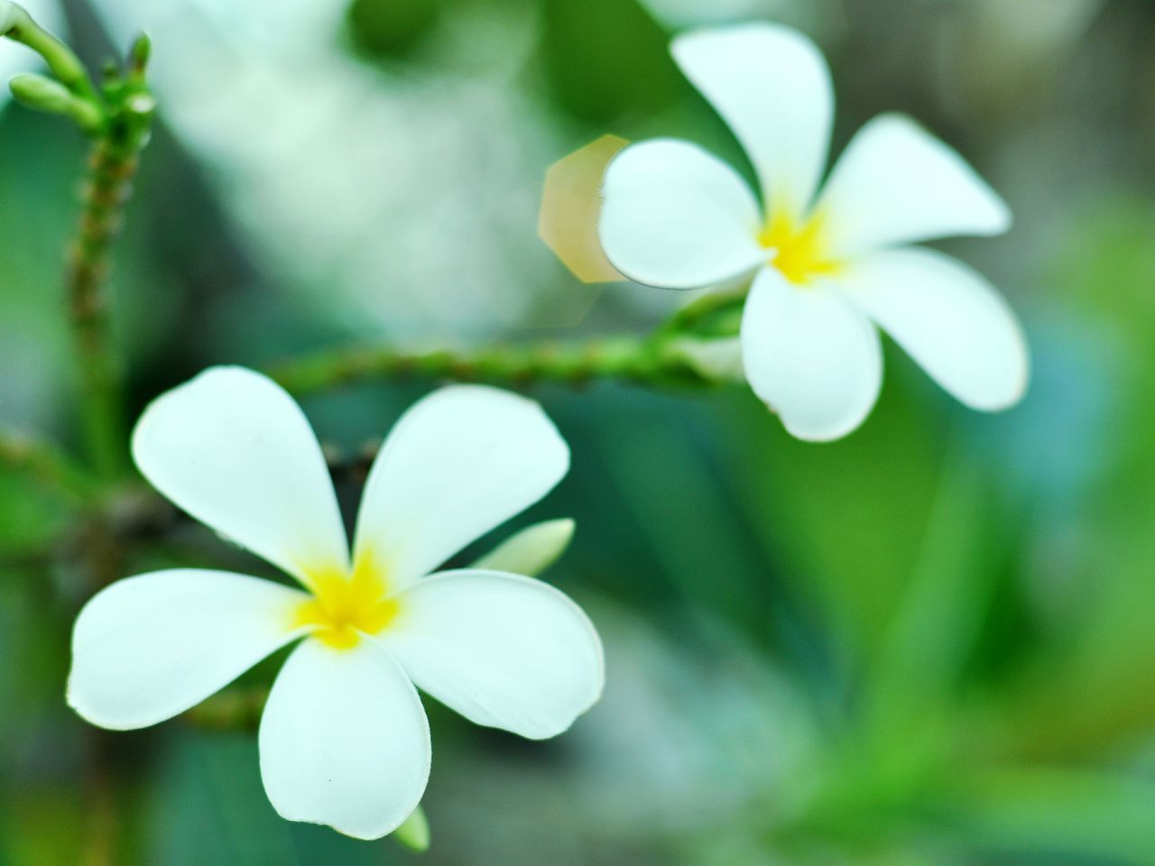 flower, petal, growth, frangipani, nature, beauty in nature, white color, fragility, blooming, flower head, freshness, plant, close-up, no people, outdoors, day, periwinkle