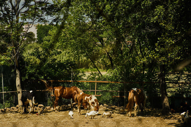 Animal Themes Cow Day Domestic Animals Grazing Livestock Mammal Nature No People Outdoors Standing Togetherness Tree
