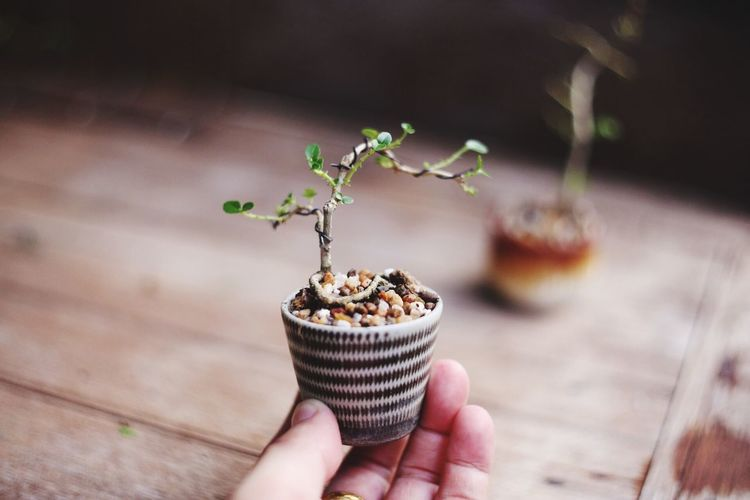 Mini bonsai Leisure Leisure Activity Real People Plant Nature Potted Plant Day Growth Freshness Focus On Foreground Lifestyles