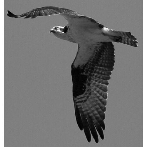 All_mighty_predators_bnw Allmightybirds Bestnatureshots Elite_natureshooter feather_perfection fabfaunas natureelite nature_uc md_editz thewhisperers