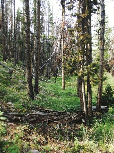Tree Area Landscape Beauty In Nature Tree Trunk Forest Mountain Green Grass Uinta Mountains Utah Bridgerlake ThroughthetreesLandscape Photography Shadows & Lights Hikingadventures Pinetrees Tree Nature Outdoors Growth Day No People Tranquility Tranquil Scene Scenics Branch
