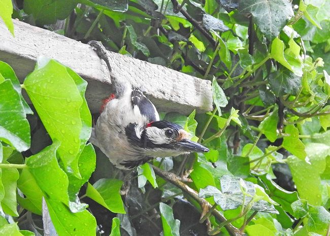 Animal Themes Animal Wildlife Animals In The Wild Beauty In Nature Bird Bird Photography Birds_collection Close-up Day Food Freshness Green Color Growth Ivy Leaf Mammal Nature No People One Animal Outdoors Perching Plant Spotted Woodpecker Tree Wood Pecker