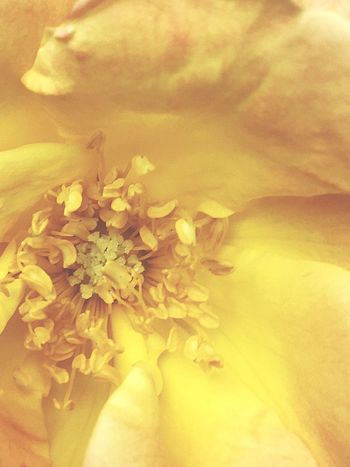 Sold yellow Flower Freshness Flowering Plant Plant Close-up Yellow Beauty In Nature