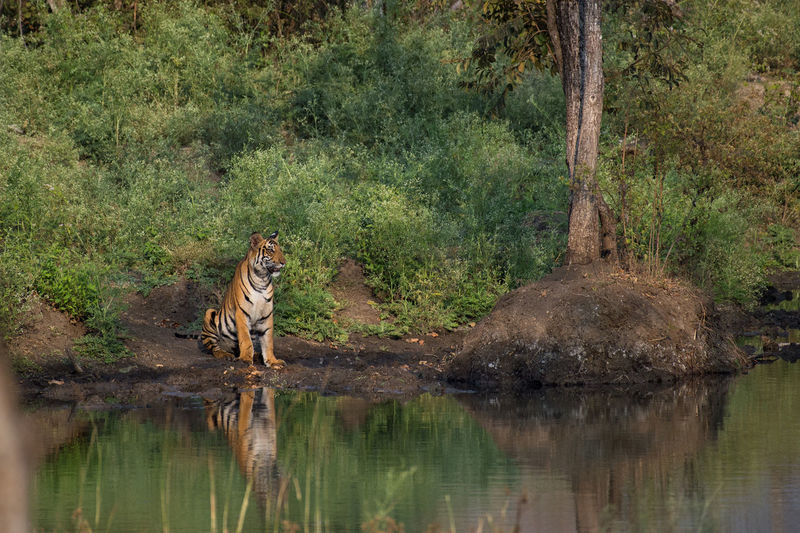 A tiger visits its favourite water hole in the jungles of Karnataka, India. Animals In The Wild Animals In The Wild Day Grass Habitat India Indian Wildlife Mammal Nature No People Outdoors Tiger Tigers Tree Water Wild Wildlife Wildlife & Nature Wildlife Photography The Great Outdoors - 2017 EyeEm Awards