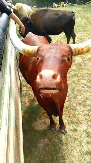 Animal Themes Domestic Animals Standing Mammal Livestock Herbivorous Animal Head  Zoology Field Domestic Cattle Outdoors Animal Animal Nose Herd Pasture Snout