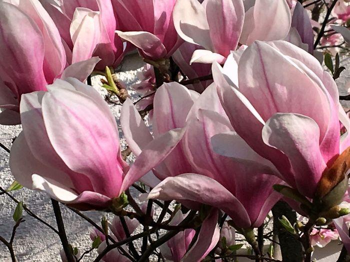 Magnolien, Blumen, Frühling, Spring Magnolia Flower Flowering Plant Plant Pink Color Beauty In Nature Petal Freshness Fragility Growth Nature Springtime Outdoors Botany Flower Head Vulnerability