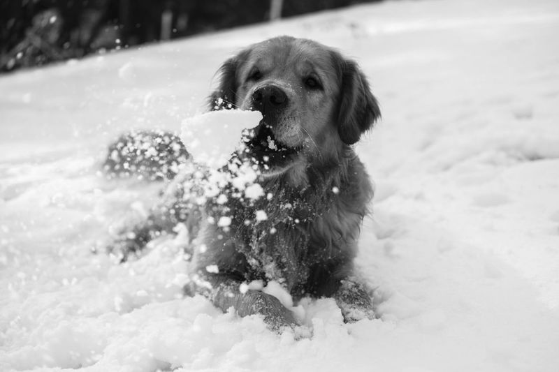 Golden Retriever Snow Snowfun Dogs Of EyeEm Dogslife Dogs Goldenretriver Canine Dog One Animal Domestic Pets Animal Themes Mammal Domestic Animals Animal Vertebrate Cold Temperature Day Nature Winter Motion No People Outdoors Focus On Foreground Animal Head