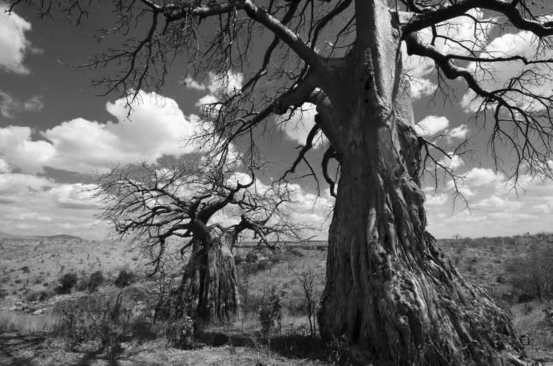 Baobabs in Ruaha National Park African Tanzania Africa Baobab Baobab Tree Bare Tree Beauty In Nature Branch Day Dead Tree Growth Landscape Nature No People Outdoors Rua Savanna Scenics Sky Tranquil Scene Tranquility Tree Tree Trunk