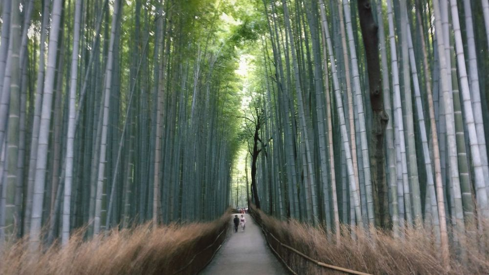 Arashiyama Bamboo Grove, Kyoto, Japan EyeEm Best Shots EyeEm Nature Lover Japan Japan Photography Kyoto Arashiyama Arashiyama Bamboo Grove Forest Bamboo Grove Bamboo Scenery Natural Forest Nature Bamboo Grove Tree The Way Forward Bamboo - Plant Green Color Beauty In Nature Day Leaf People Outdoors EyeEmNewHere Colour Your Horizn