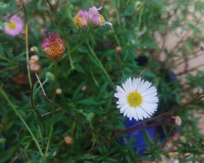 Daisy Weed Wildflowers Overgrown Flower Nature Fragility Growth Freshness Flower Head Petal No People Multi Colored Outdoors Close-up Day Beauty Beauty In Nature Plant