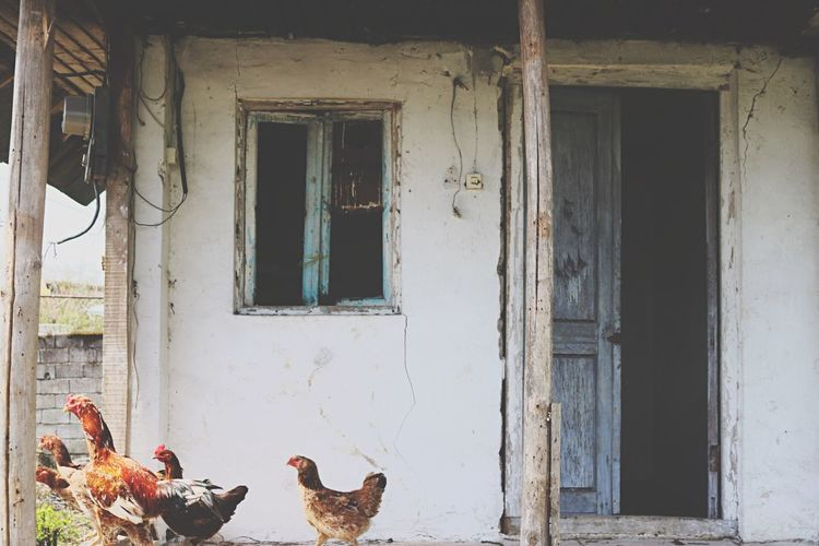 Village Village Photography Village View Villagelife Window Door Chicken - Bird Rooster Old House Irantravel Iran Gilan Lahijan,Iran Lahijan Ruralhouse Life