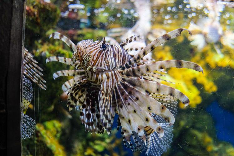 Lion fish pterois