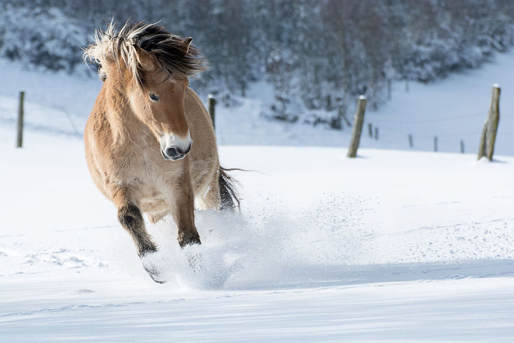 Horse running on snow covered field
