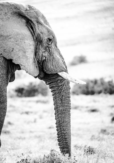 Side view of elephant standing on grassy field
