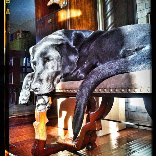 Blacklab Dog Crosslegged Posing by the fireplace shadows sunshine