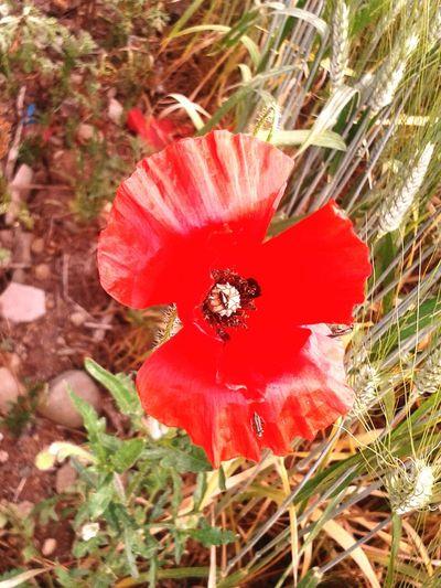 Preludio estivo papavero rosso 2