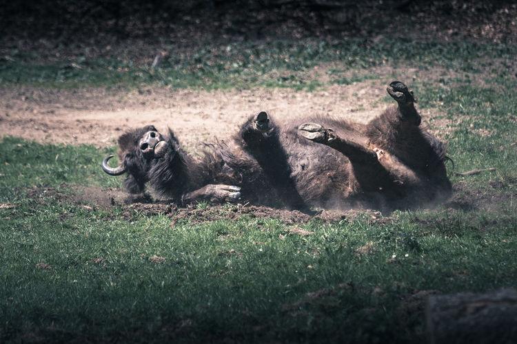 European bison lying on land