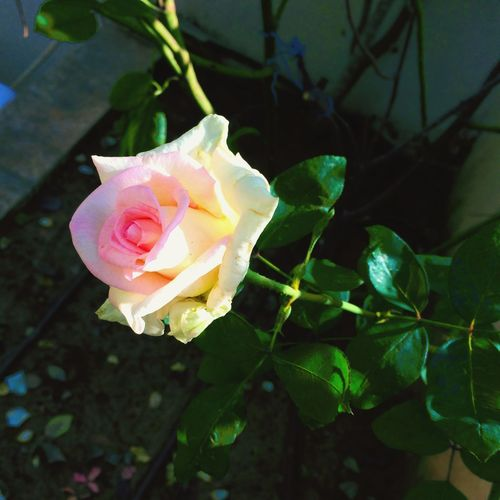 Fresh From My Garden Roses Collection FLowers Everywhere. Loving Flowers