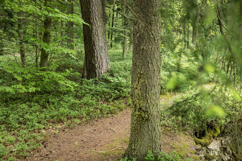 Beauty In Nature Day Environment Forest Green Color Growth Land Landscape Lush Foliage Nature No People Outdoors Pine Woodland Plant Scenics - Nature Trail Tranquil Scene Tranquility Tree Tree Trunk Trunk WoodLand