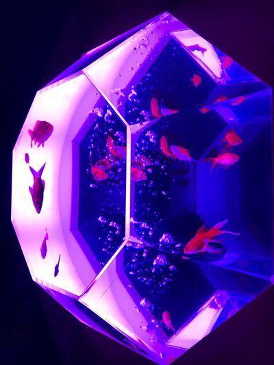 Art Art Aquarium Artaquarium Japan Tokyo Japanese Culture Japanbeauty Goldfish 金魚 きんぎょ アートアクアリウム 2017 Colors