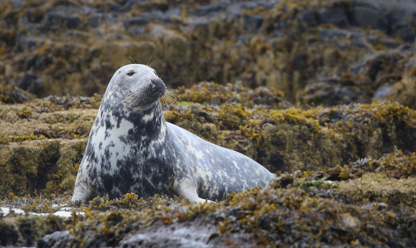 Grey Seal in the Farne Islands Animal Themes Animal Wildlife Animals In The Wild Aquatic Mammal Beach Close-up Day Mammal Nature No People One Animal Outdoors Rock - Object Sea Sea Life Sea Lion Seal - Animal