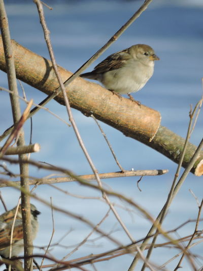female House Sparrow Animal Themes Animal Wildlife Animals In The Wild Beauty In Nature Bird Branch Close-up Day Focus On Foreground House Sparrows Nature No People One Animal Outdoors Perching Tree