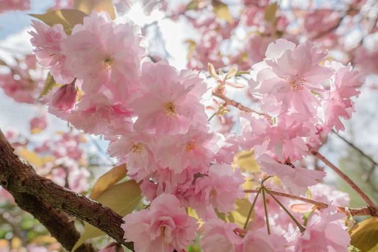 Low angle view of pink flowers on tree