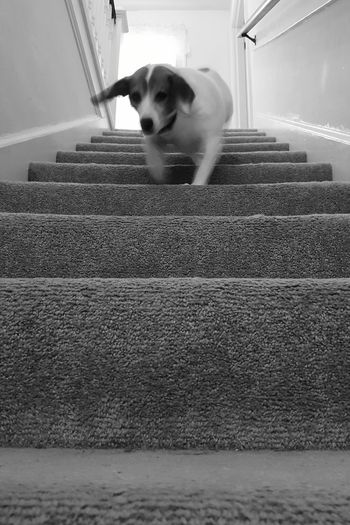 One Animal Animal Themes Domestic Animals Pets Dog Mammal Looking At Camera Portrait Day Indoors  Medium Sized Dog Jackabee Mixed Breed Diminishing Perspective Pet Perspective Steps And Staircases Staircase Running Down Stairs Blurred Motion Action Shot  Dog Going Down Stairs
