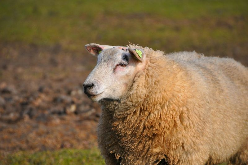 Sheep Sheep🐑 Farm Animals Farm Life Farm Photos Animals Animal Photography Nature On Your Doorstep Sheep Portrait Schaap Hello World Check This Out Taking Photos EyeEm Best Shots EyeEm Best Shots - Nature