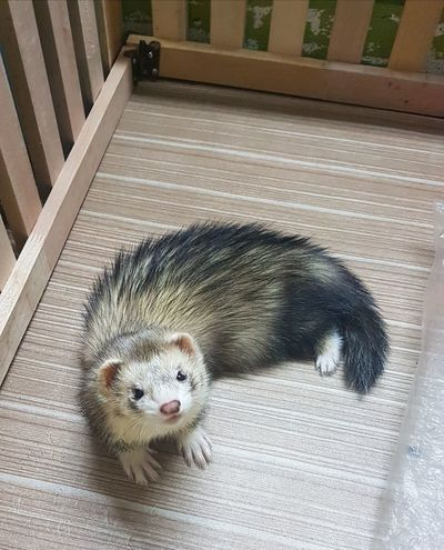 Ferret Ferretlove Pet Animal Themes Animals In The Wild Animal Wildlife EyeEm Selects Pets Portrait Looking At Camera Animal Themes Close-up Exotic Pets