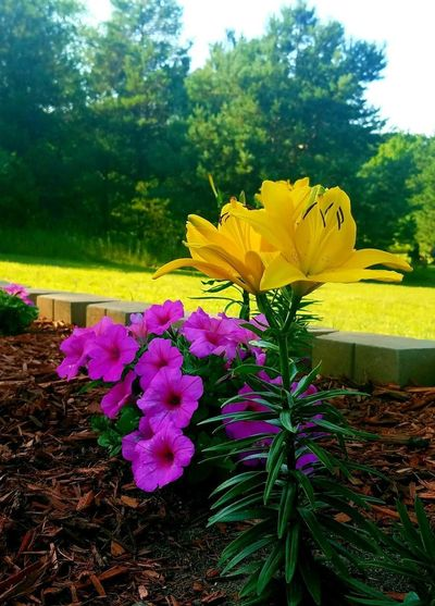 Lilies Yellow Lillies Lily Flowers Gardens Flower Head Flower Tree Yellow Petal Leaf Sky Close-up Plant Landscape EyeEmNewHere