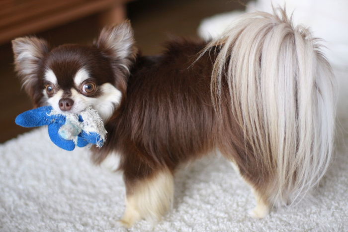Chihuahua Chihuahualovers Dog Dog With Toy チワワ チワワ Dog 犬