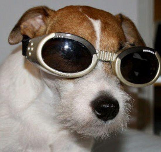 Portrait of a dog wearing sunglasses
