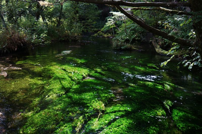 Ice Age Water Forest Tree Stream Tranquil Scene Green Color Tranquility Scenics Non-urban Scene Nature Growth River Flowing Tree Trunk Beauty In Nature Lush Foliage WoodLand Day Branch Flowing Water at Kamikochi in Matumoto,Japan Alps