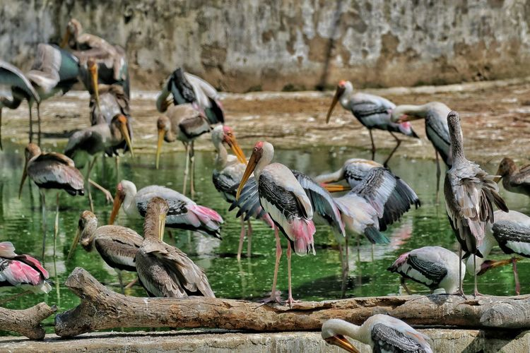 Painted Storks In Lake
