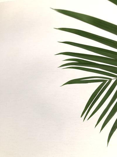 Close-up of palm leaves against white background