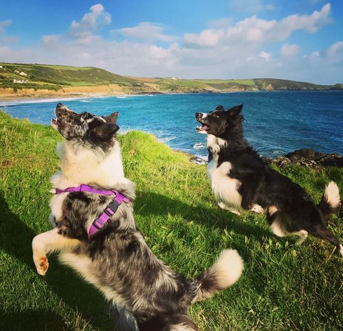 Domestic Animals Pets Sky Sea Water Cloud - Sky Animal Themes Grass Nature Dog Outdoors Horizon Over Water Mammal No People Day Scenics Sitting Beauty In Nature Border Collie Coastal Scenery Visit Cornwall Coastal_collection Seaside Energetic Catch