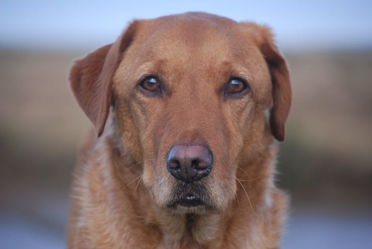 Bonzo @bonzosworld Instagram Looking At Camera One Animal Dog Portrait Mammal Pets Domestic Animals Animal Themes Close-up Focus On Foreground Retriever No People Outdoors Day Red Lab Labrador Retriever