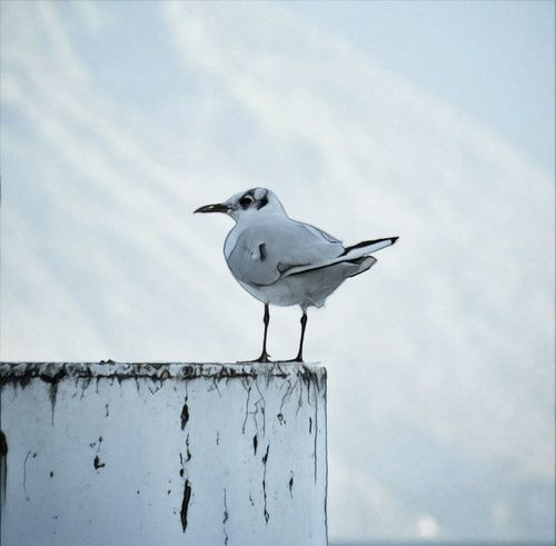 Bird Animal Themes Animals In The Wild One Animal Perching Wildlife Seagull Wooden Post Zoology Focus On Foreground Beak Day Nature Sky Cloud - Sky Tranquility No People Seagulls Seagull Serenity Seagulls At The Lake Seagull.