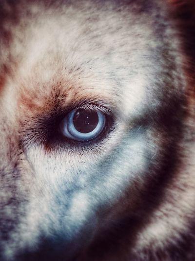 IPhoneography IPhone7Plus Husky Snapseed Animal Animal Photography Animal Eye Dog First Eyeem Photo