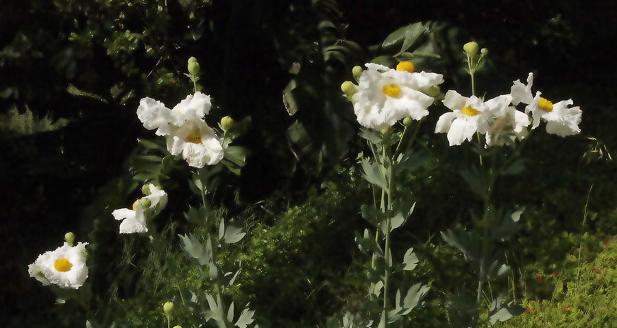 Blooming Blossom Bokeh Photography Crepe Paper Flower Head Fried Eggs Matajilla Poppy White And Yellow Flowers