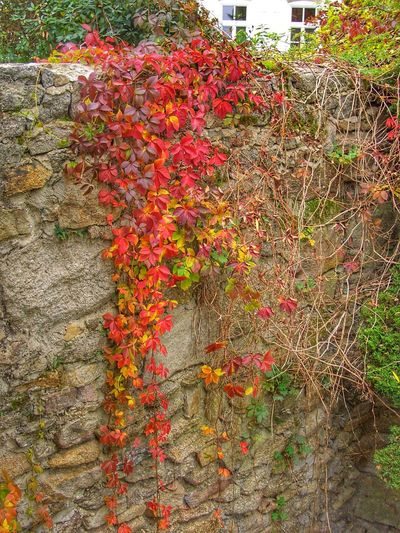 Close-up of red flowering plants during autumn